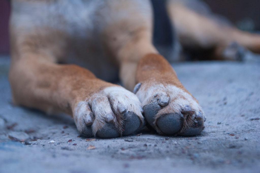 hondsdolheid krabwonden
