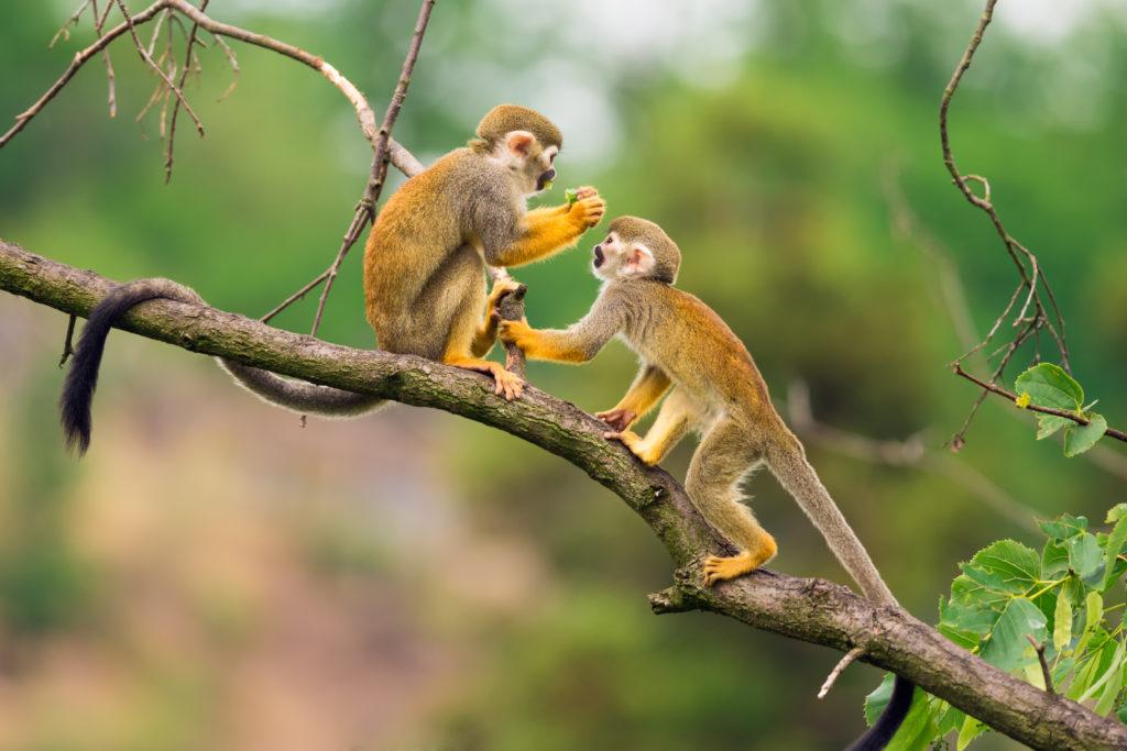 hondsdolheid mensen apen