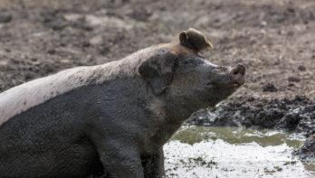 Steeds minder verveling onder varkens