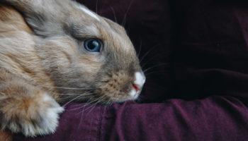 konijnentaal