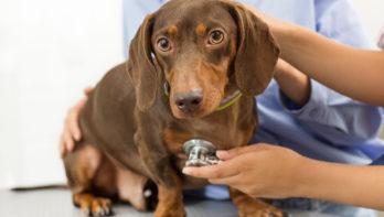 Vaccinatieschema hond