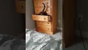Kat weet lade weer dicht te krijgen zodra hij er in ligt
