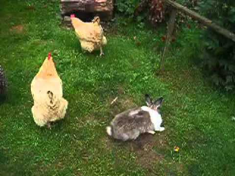Konijn denkt dat hij een kip is