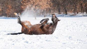 Paarden en pony's in de sneeuw