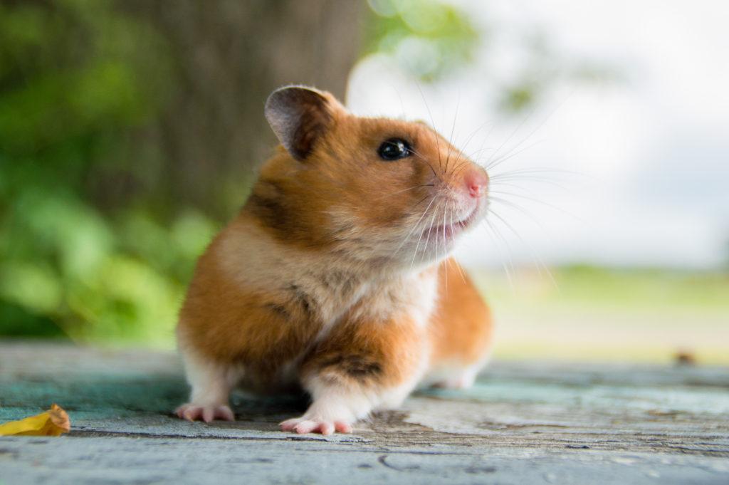 hamster houden