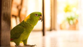 papegaai roept om hulp