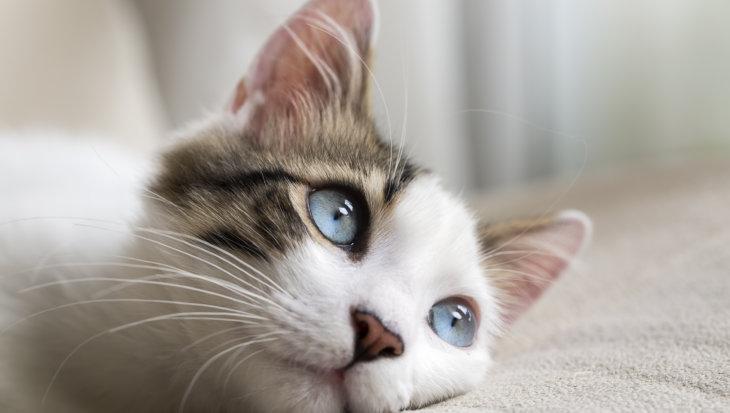 Belgische kat kreeg corona van baasje