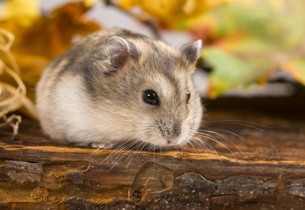 hamsterscaping beweging