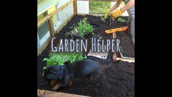 Teckel helpt in de tuin