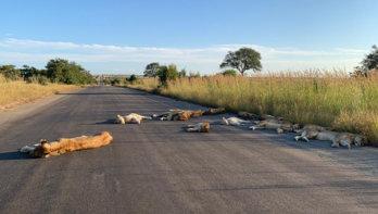 Leeuwen luieren op de weg tijdens lockdown
