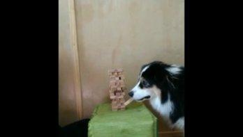 Hond speelt Jenga als een pro