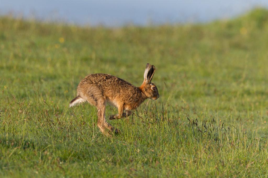 konijn haasachtigen