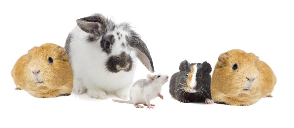 konijn knaagdieren