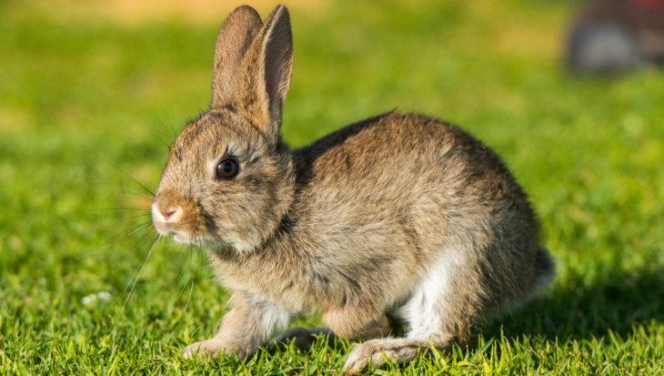 Waarom een konijn geen knaagdier is