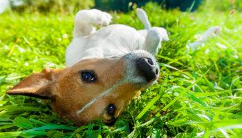 hond immuunsysteem massage