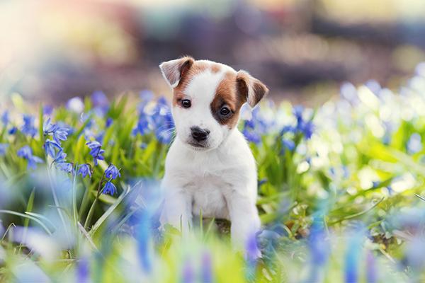 hond aanschaffen coronacrisis