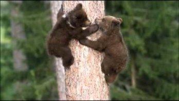 Spelende beertjes ... om bij weg te dromen