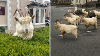 Wilde geiten nemen dorpje in Wales te grazen
