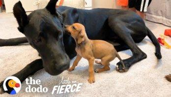 Kleine, dappere pup maakt grote vriend