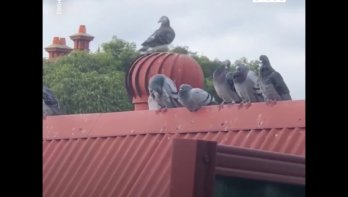 Malle duiven