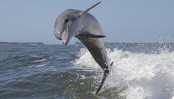 Dolfijn Zafar weer terug in zee