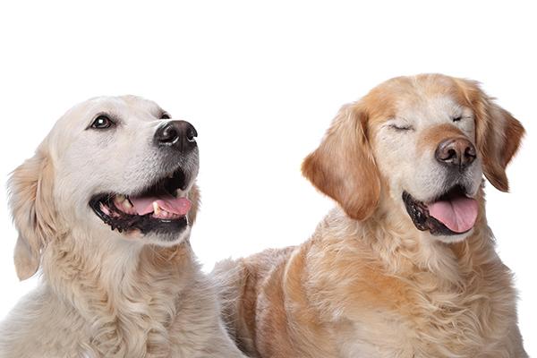 Een blind huisdier vraagt om aanpassing