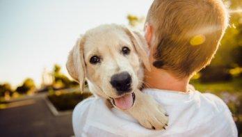 Coronacrisis veroorzaakt run op puppy's