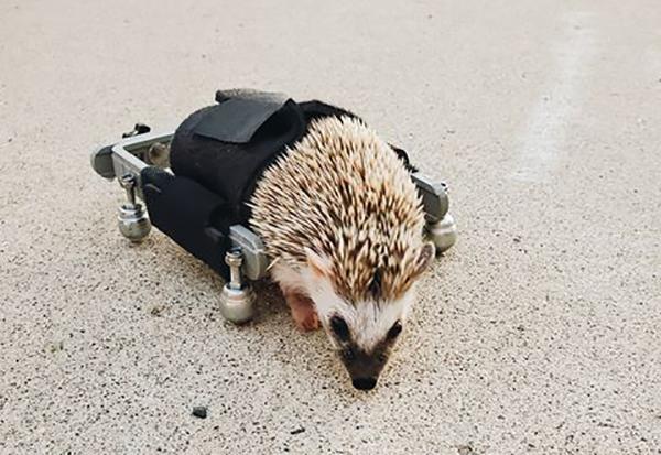 rolstoel egel