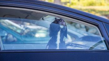 Hondenbezitters: pas op met dit warme weer!