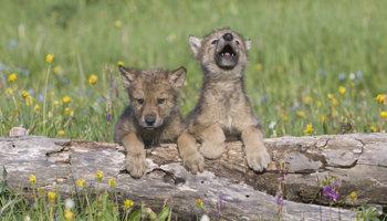 wolvenjongen
