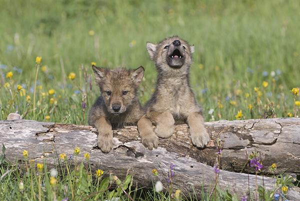 Trump staat jagen op jonge beren en wolven toe