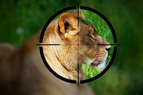 Undercoverbeelden leggen fokindustrie leeuwen bloot