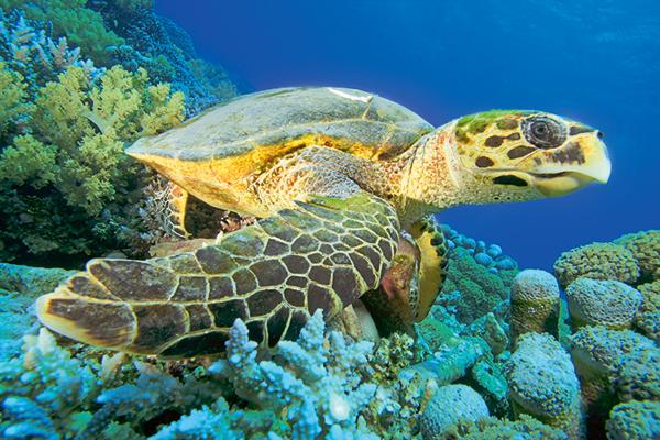 echte karetschildpad