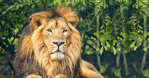 aziatische leeuw
