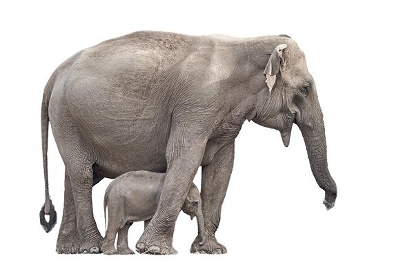 Sumatraanse olifant