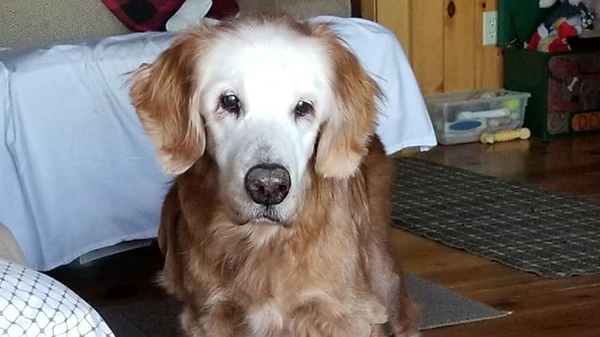 Augie (20) is de oudste Golden Retriever