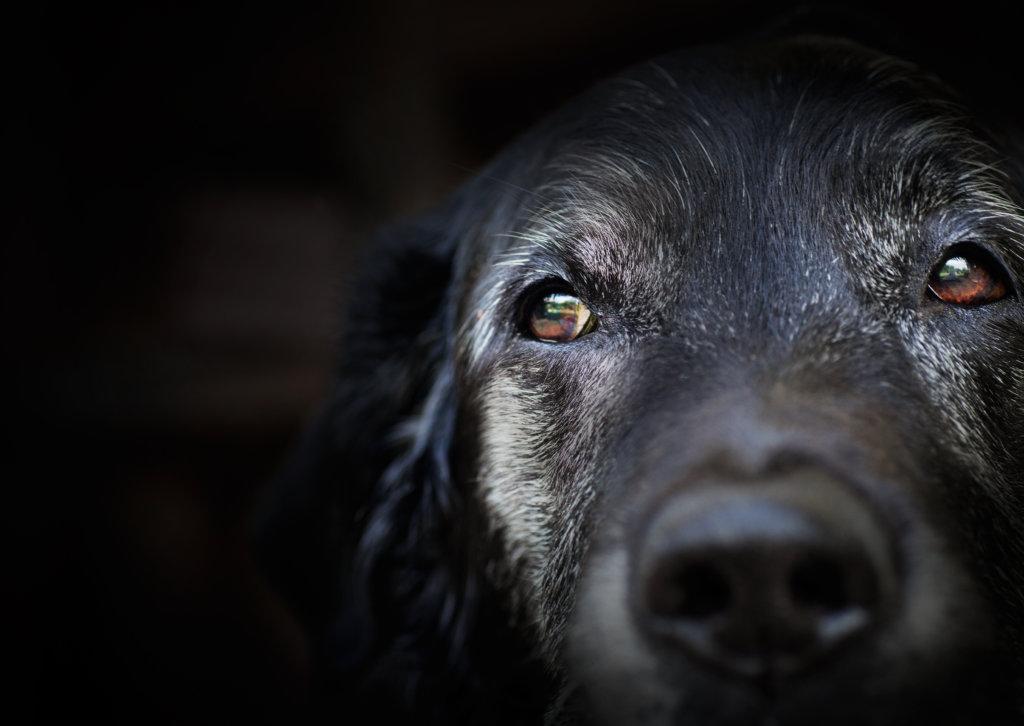 oude hond mentaal geheugen intelligentie