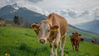 Zwitserland en Oostenrijk beschermen koeien tegen wandelaars