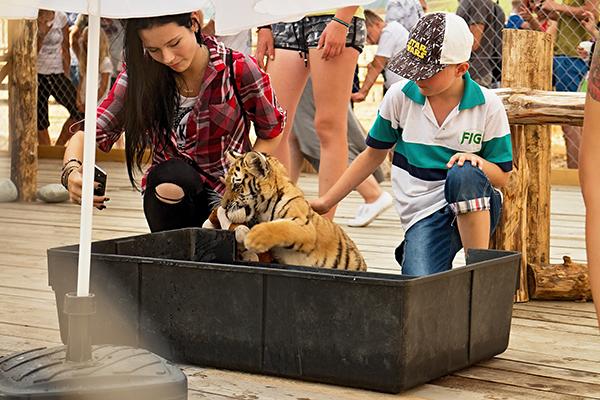 tijger aaien