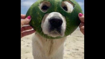 Hond is dol op zijn watermeloenmasker