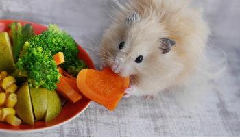 voedsel hamster