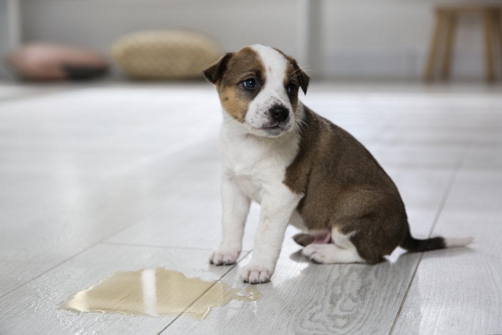 puppy uitlaten zindelijk