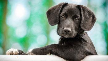 puppy uitlaten: hoe lang