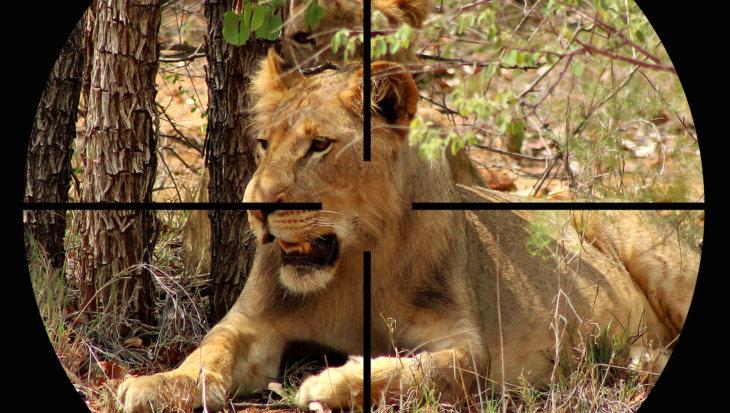 Zo makkelijk is het om een leeuw dood te schieten…
