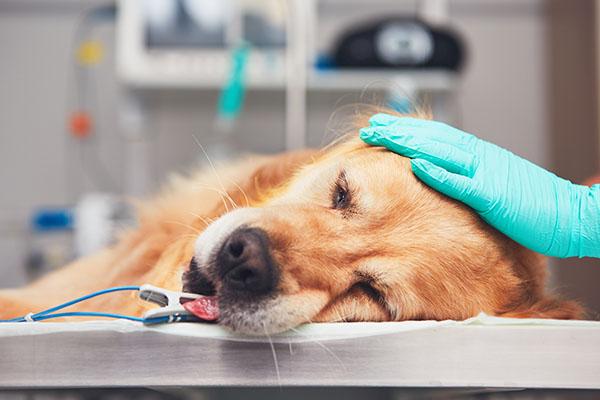Narcose bij huisdieren: over risico's, complicaties en voorzorgen