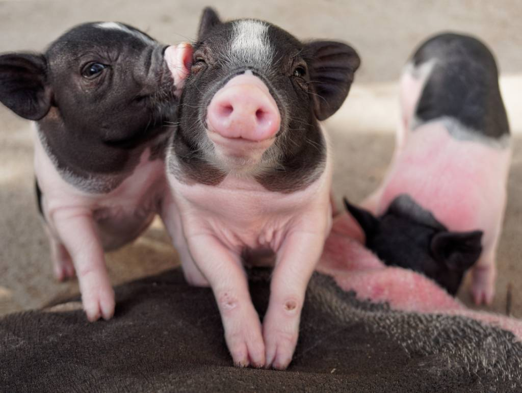 hartverwarmende dierenfoto's biggen