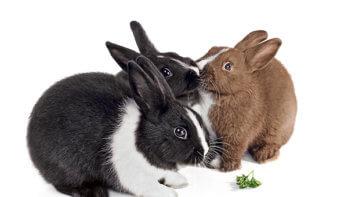 Zo praten konijnen met elkaar