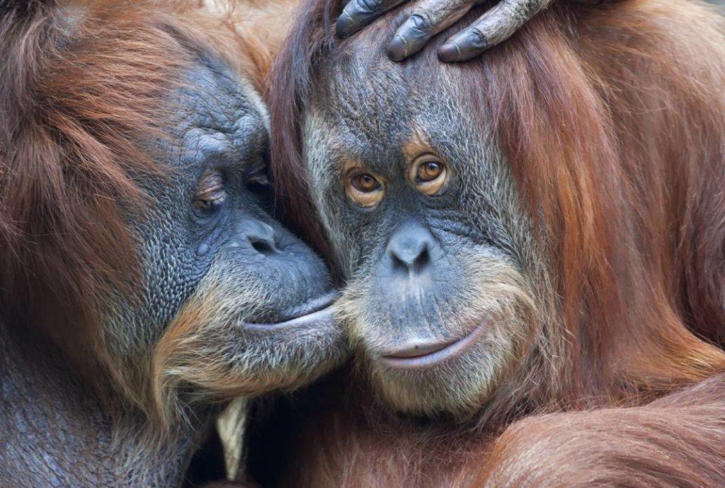 hartverwarmende dierenfoto's chimpansees