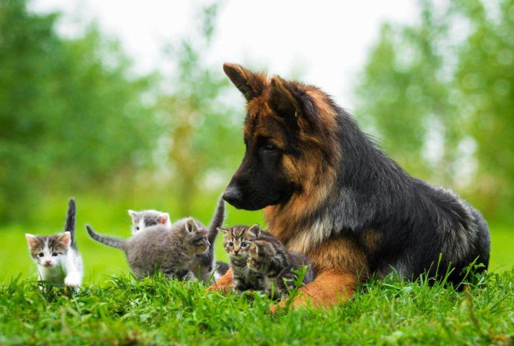 hartverwarmende dierenfoto's kittens duitse herder