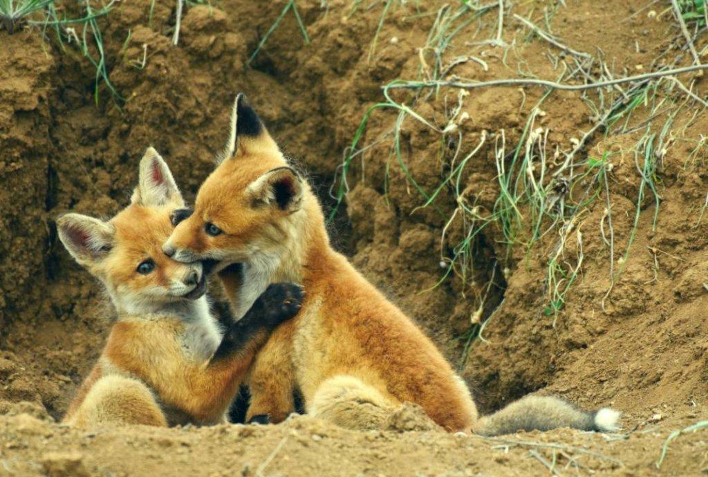 hartverwarmende dierenfoto's vossen